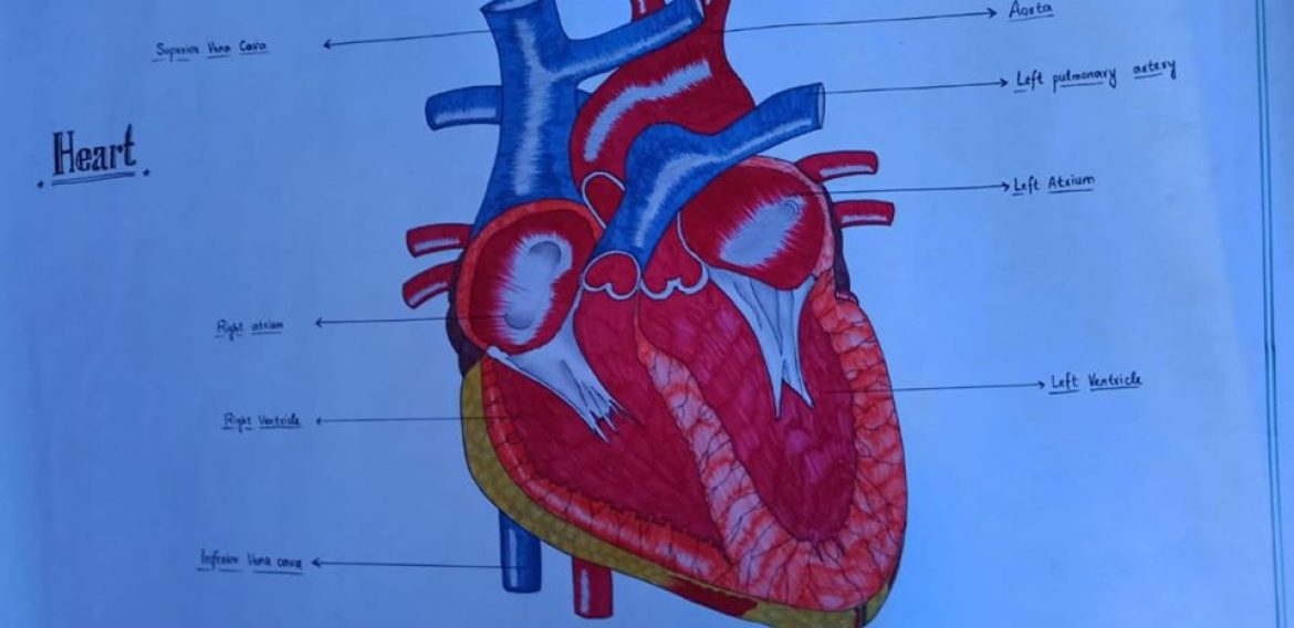 Title: Human heart, kidney & structure of muscle